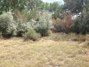 Invasive species in a local riparian zone.