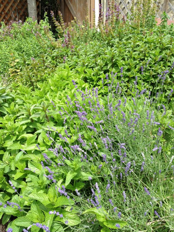 Lavender & Herbs