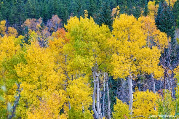 Colorful Autumn Aspen Tree Forest View