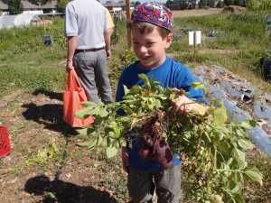 Picking beets at Ekar Farm.