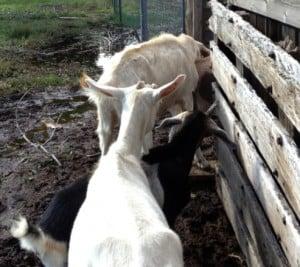 goatsflood