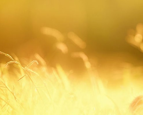 cat in wheat