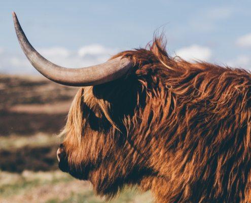 losar ox in sun