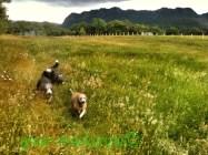 Beardies in the Meadow