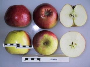 Bismarck Apple from National Fruit Collection, UK
