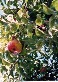 Descendants of the original Bismark apple tree as seen in 1993