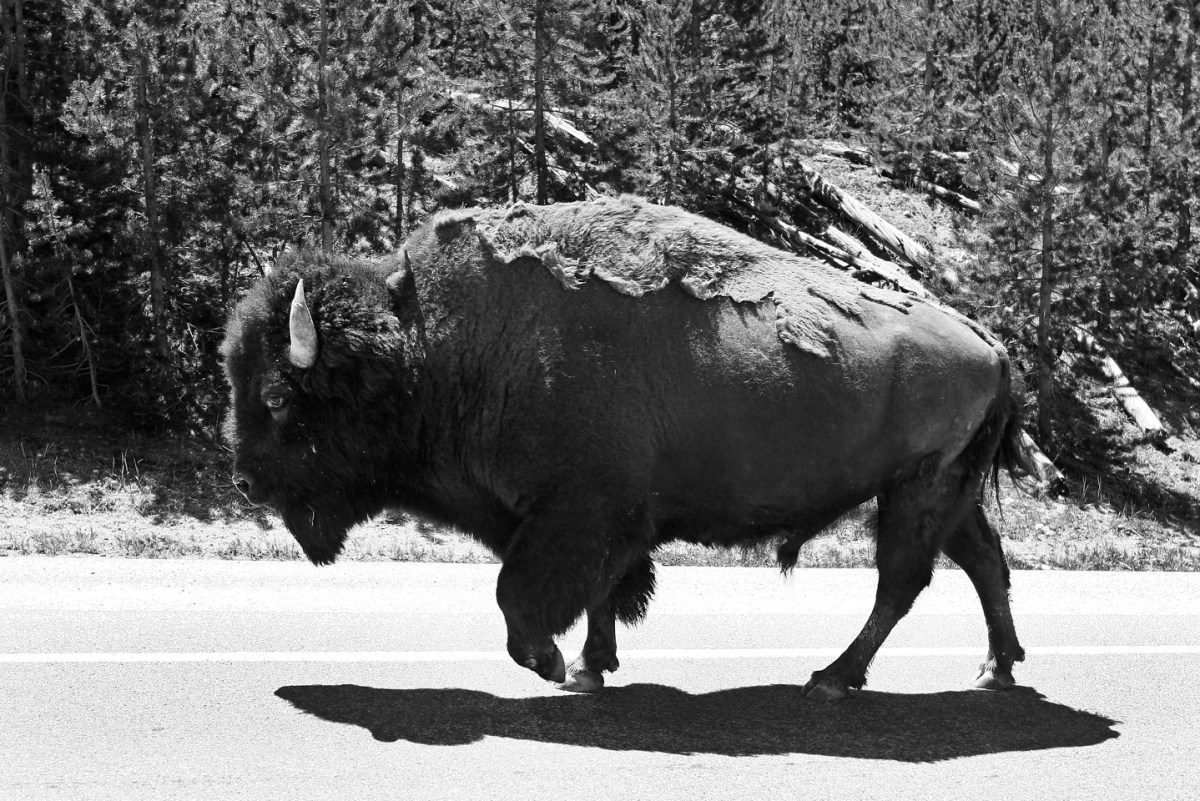 yellowstone-buffalo-walking-road
