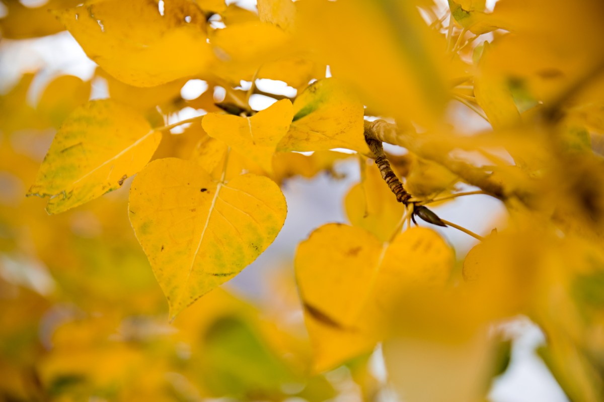 quaking-aspen-leaf-sierras-2
