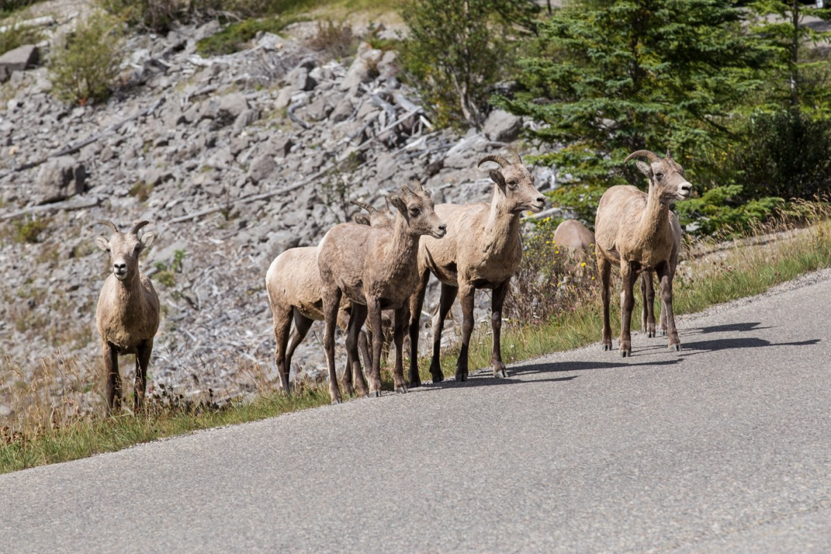 jasper-bighorn-sheep-road