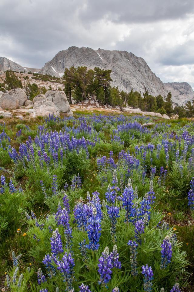 vogelsang-high-sierra-camp-flowers