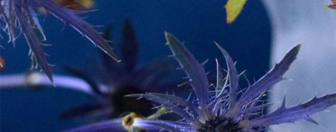 夏の花 エリンジウム 青い花