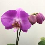 美容室ブーケの春は胡蝶蘭から