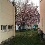 桜が見頃ですよー!(^^)
