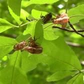 cicada husks in leaves