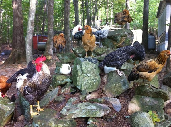 Chickens on the rocks