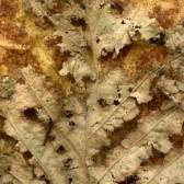 Leaves after Dubuffet