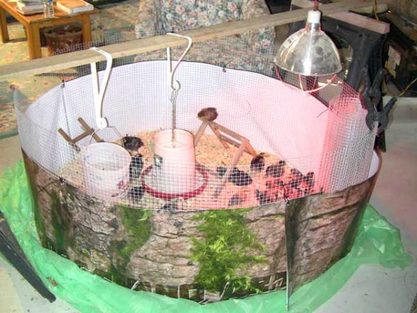 Chicks in yurt