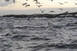 White shark hunting at Seal Island