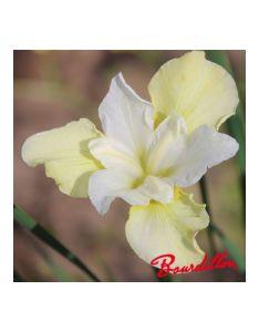 Iris chartreuse bounty also bourdillon rh