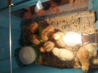 Chicks in EYFS