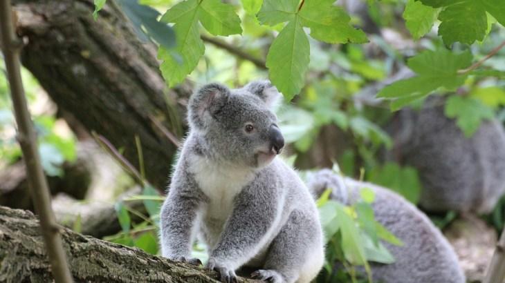 【2.5万頭のコアラが犠牲】オーストラリア(豪)森林火災原因は何?