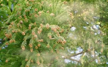 スギ花粉は前年の夏の気温が高いと飛散する量が多くなる?花粉症をもたらす植物の種類と時期のまとめ