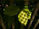 柿の葉のカクテルハット