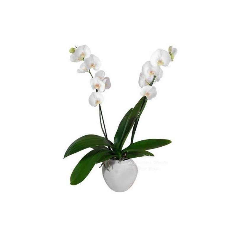 ORCHIDE PHALAENOPSIS