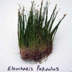 Eleocharis Parvulus