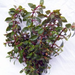 Ludwigia Narrow