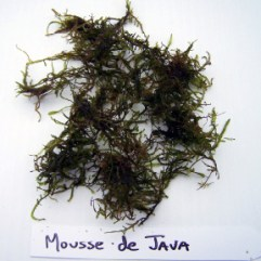 Plante Aquarium Mousse de Java
