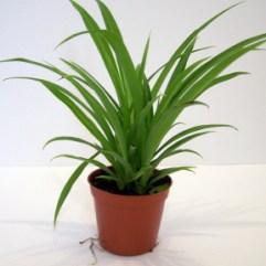 Araignées (Chlorophytum) Vert