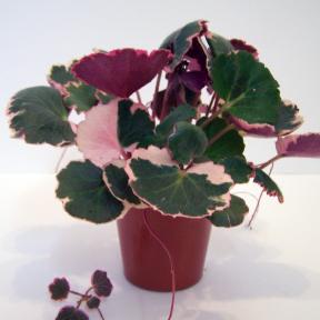 Saxifraga Strawberry Cream
