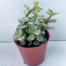 plante grasse portulacaria plante intérieure