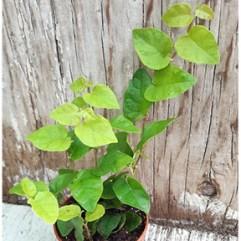 Ficus Pumilia