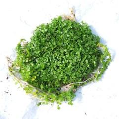 Hémianthus Micranthemoides