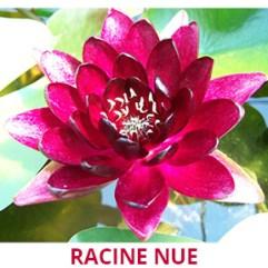 Nénuphar rouge racine nue