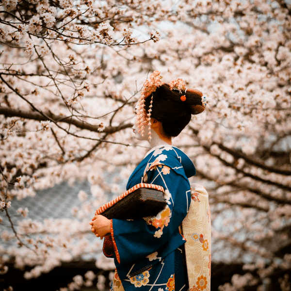 Spring scene in Kyoto Japan with cherry blossoms or sakura