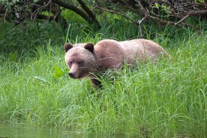 Grizzly bear at the Great Bear Lodge - one of our top 6 wildlife lodges