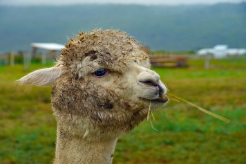 A rather soggy alpaca Le Germain Charlevoix. 900x600 photo by Johanna Read TravelEater.net
