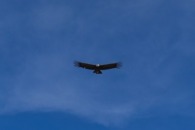 Perou-Chivay-Colca-Condor