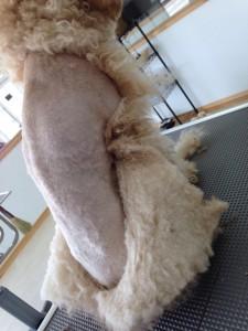 小太郎くん、毛皮を着ていたみたいですΣ(・□・;)