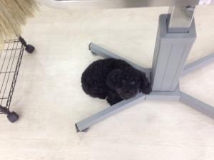 トリミング中は大人しくテーブルの下で丸くなっています(^^)