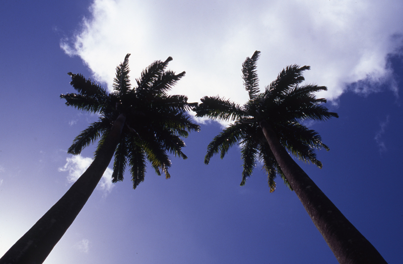 Coconut trees touching the sky-St. Vincent Botanical Gardens