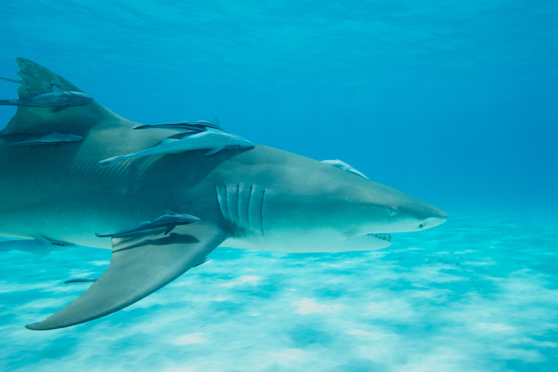 Lemon shark over sand 6 (dig)-Tiger Beach, Grand Bahama Island