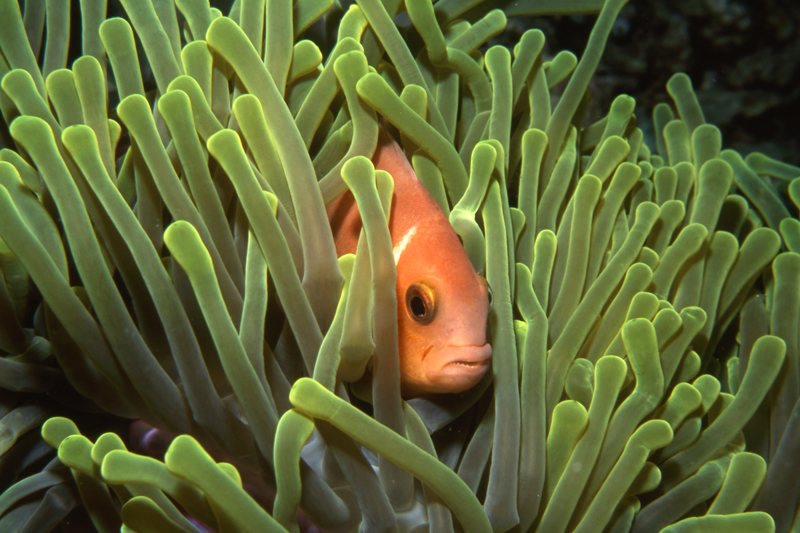 Maldive's anemonefish & Magnificent sea anemone