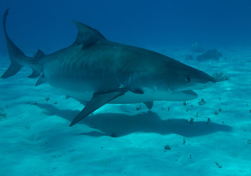 Tiger shark 1 (dig)-Tiger Beach, Grand Bahama Island