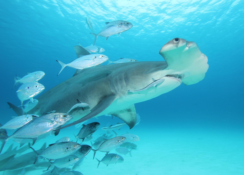 Great hammerhead & fish 1 (dig)-Bimini