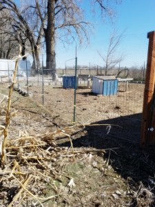Montana Bowl of Cherries-Improving Soil With Chickens-moving the fence