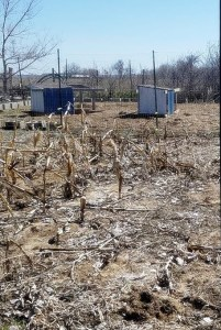 chickens amending soil